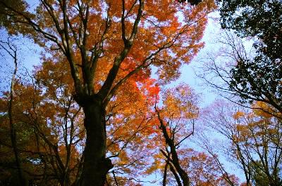 愛宕山の紅葉する高い木々